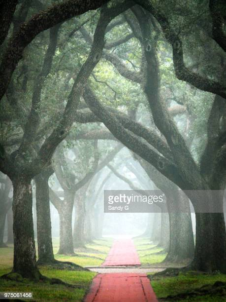 canopy of live oaks - live oak tree stock pictures, royalty-free photos & images