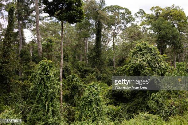 canopy of the primary tropical rainforest, borneo, malaysia - argenberg stock pictures, royalty-free photos & images