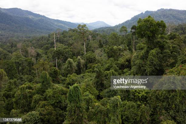 canopy of the primary tropical rainforest, dipterocarp trees, borneo, malaysia - argenberg stock pictures, royalty-free photos & images