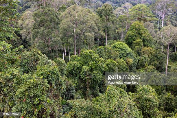 canopy of the primary tropical rainforest, tall dipterocarp trees, borneo, malaysia - argenberg stock pictures, royalty-free photos & images