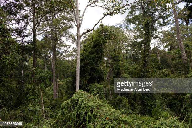 canopy of the tropical rainforest, borneo tropical rainforest, malaysia - argenberg stock pictures, royalty-free photos & images