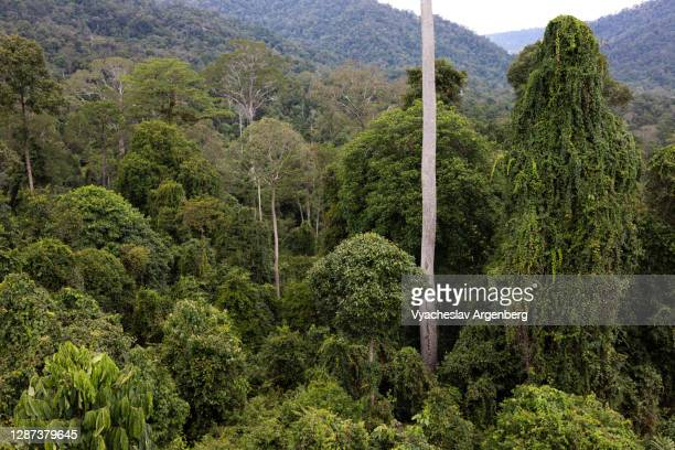 canopy of tropical rainforest, dipterocarp trees, borneo, malaysia - argenberg stock pictures, royalty-free photos & images