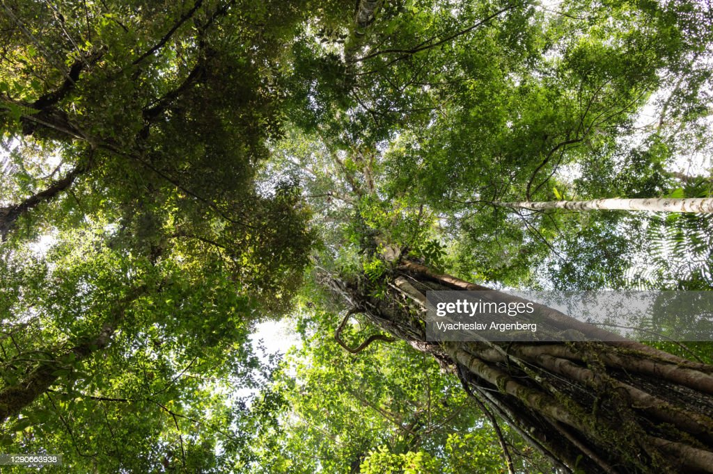 Canopy of tropical trees in Borneo rainforest, Malaysia : Stock Photo