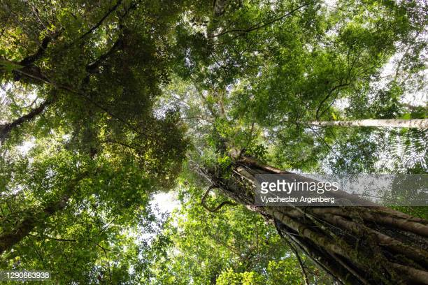 canopy of tropical trees in borneo rainforest, malaysia - dipterocarp tree stock pictures, royalty-free photos & images