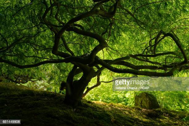 Canopy tree in the forest