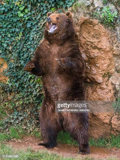 a cantabrian brown bear standing scratching its back on a rock and marking its territory. ursus arctos arctos. - orso bruno foto e immagini stock