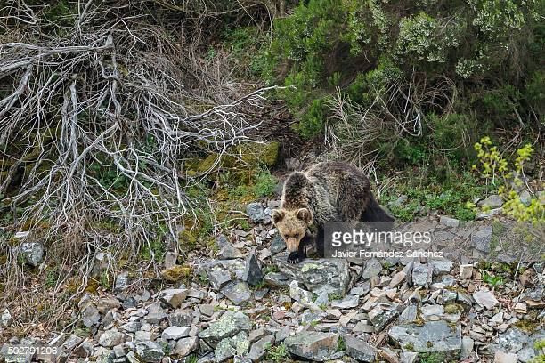 cantabrian brown bear. wildlife. cantabrian mountains. asturias. - brown bear stock pictures, royalty-free photos & images