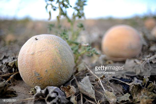 Cantaloupe that did not make the grade sit in a field at Hirakata Farms on Wednesday October 5 2011 The listeria breakout in cantaloupe that has...