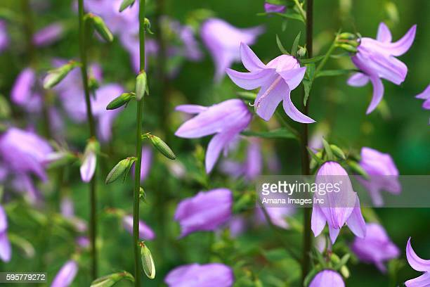 Canterbury bell flowers, close up, differential focus