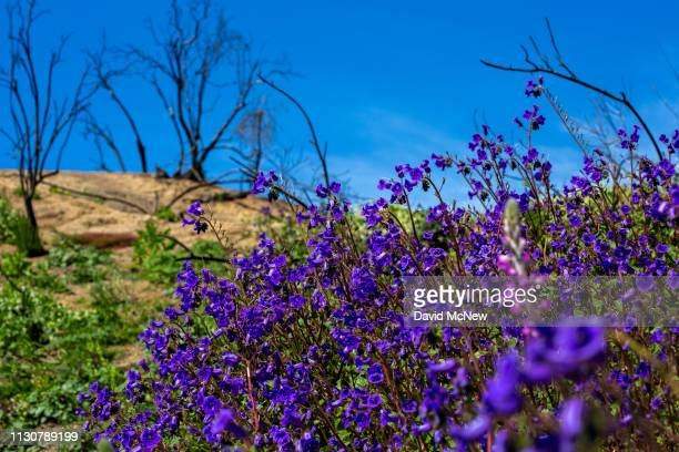 Canterbury bells bloom among the charred remains of chaparral brush that was burned away by the Holy Fire as the socalled super bloom spreads across...