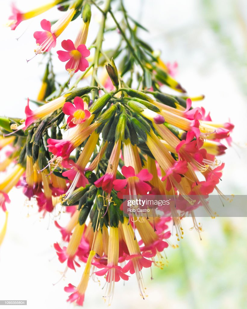 Cantua Buxifolia : Stock Photo