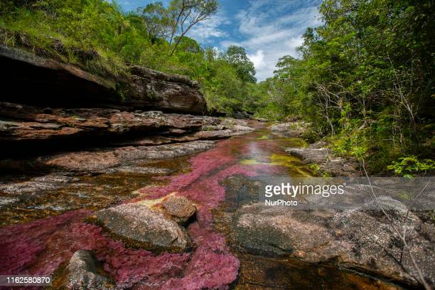 Cao Cristales photographed Monday, August 12, 2019. The river located in the Serrania de la Macarena province of Meta, Colombia and is a tributary of...