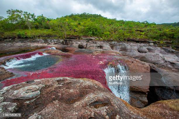 Cao Cristales photographed Wednesday, August 12, 2019. The river located in the Serrania de la Macarena province of Meta, Colombia and is a tributary...