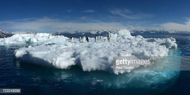 'Adelie penguins, Pygoscelis adeliae, on iceberg at Antarcticas Adare peninsula.'