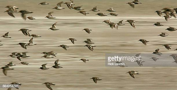 Cape Avinof Alaska – Bar–tailed Godwits a migratory bird species that feeds in mud flats left behind at low tide on the Bering Sea in Alaska The...