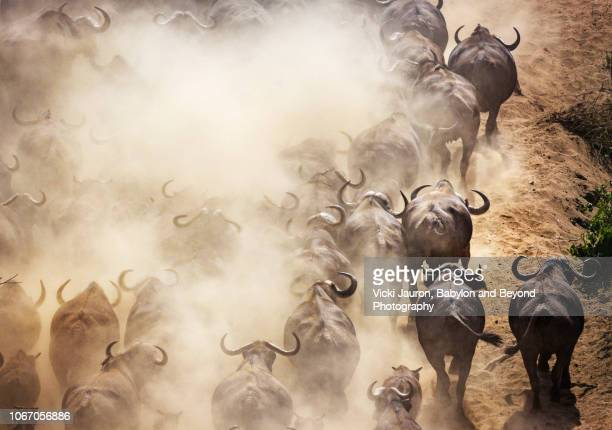 cape buffalo and dust running uphill at chitake springs, mana pools, zimbabwe - flowing cape stock pictures, royalty-free photos & images