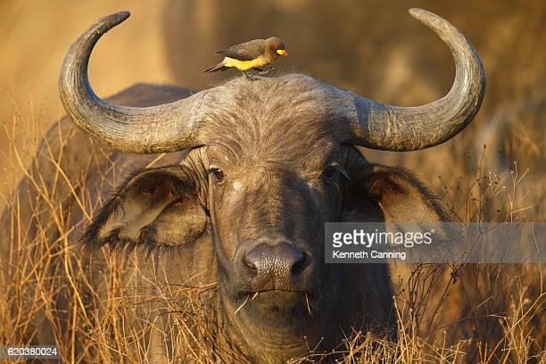 Cape Buffalo and Yellow Billed Oxpecker, Ngorongoro Crater, Tanzania Africa