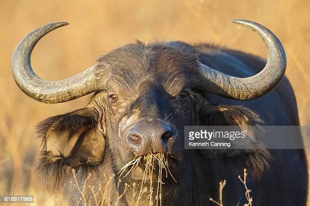 cape buffalo at ngorongoro crater, tanzania africa - wild cattle stock photos and pictures