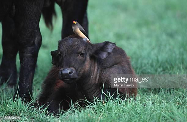 Cape Buffalo calf, Syncerus caffer, with yellow-billed oxpecker. Sub-Saharan Africa.