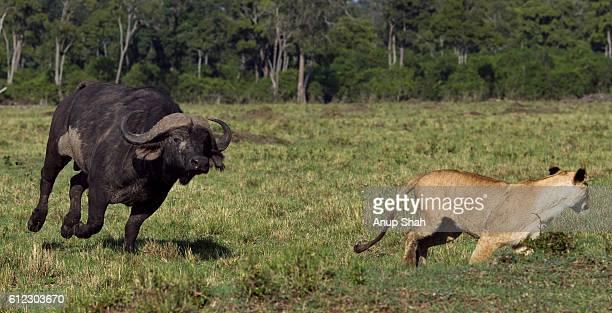 Cape buffalo chasing a lioness
