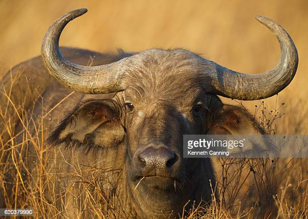 cape buffalo grazing on savanna grasses, tanzania africa - wild cattle stock photos and pictures