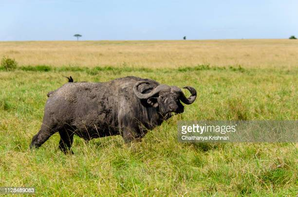 A cape buffalo grazing on the green grass in the plains of mara in Masai Mara national reserve