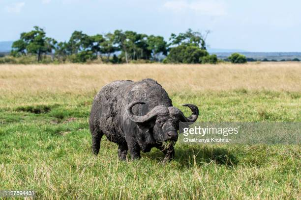 a cape buffalo grazing on the green grass inside masai mara national reserve - south africa stock pictures, royalty-free photos & images