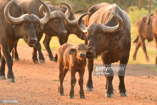 cape buffalo herd in south africa - wild cattle stock photos and pictures