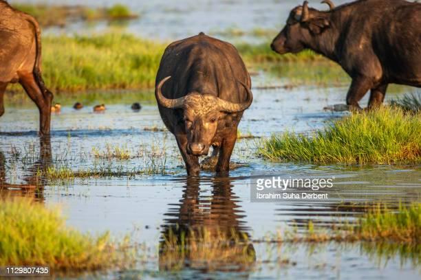 a cape buffalo in a front shot, walking towads the camera - lake nakuru - fotografias e filmes do acervo