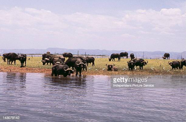 Cape Buffalo Lake Kariba Zimbabwe
