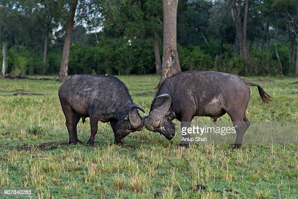 Cape Buffalo males fighting
