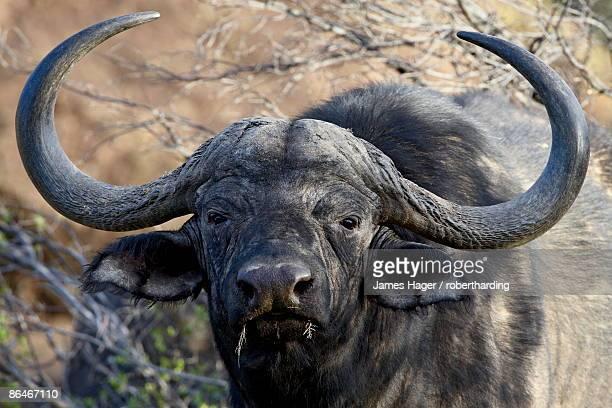 Cape buffalo or African buffalo (Syncerus caffer), Mountain Zebra National Park, South Africa, Africa