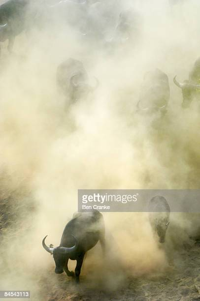cape buffalo, south luangwa np, zambia - south luangwa national park stock pictures, royalty-free photos & images