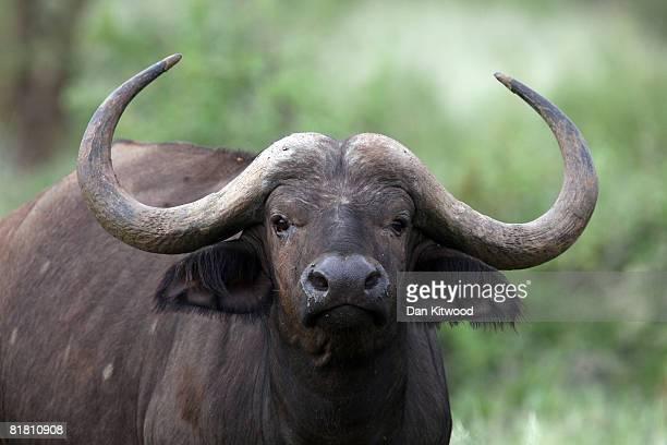 Cape Buffalo stands in grassland on Dec 07 2007 in the Masai Mara Game Reserve Kenya