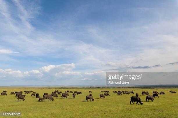 cape buffalo, syncerus caffer, herd, masai mara national reserve, kenya, africa - oxen - fotografias e filmes do acervo
