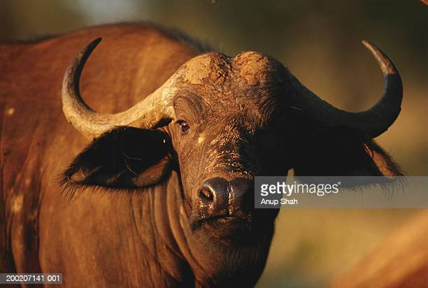 cape buffalo (syncerus caffer) watching, close up, samburu n.r, kenya - wild cattle stock photos and pictures