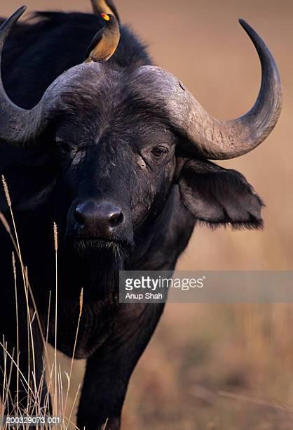 Cape buffalo (Syncerus caffer) with bird on head, Kenya