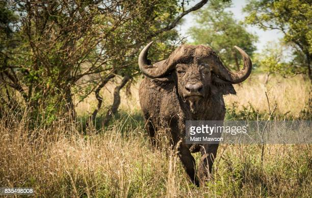 Cape Buffaloes in Kruger Game Reserve South Africa