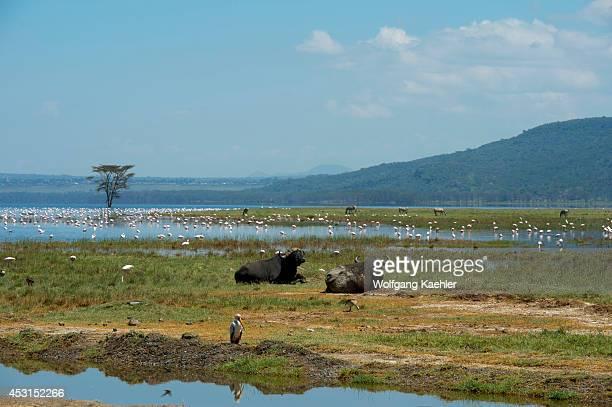 Cape buffalos with flamingoes at Lake Nakuru National Park in the Great Rift Valley in Kenya