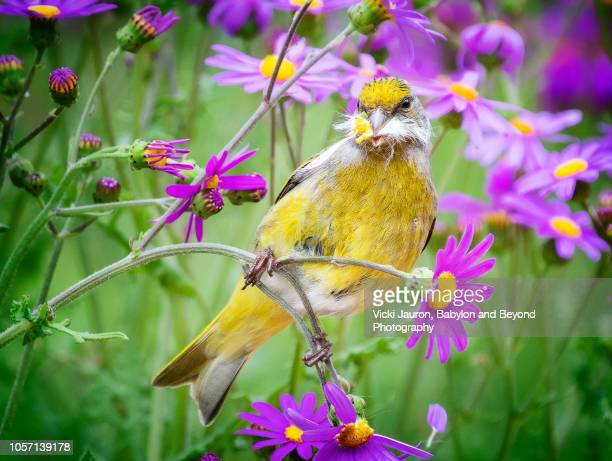 cape canary feeding on purple daisies at kirstenbosch gardens, cape town - fynbos fotografías e imágenes de stock
