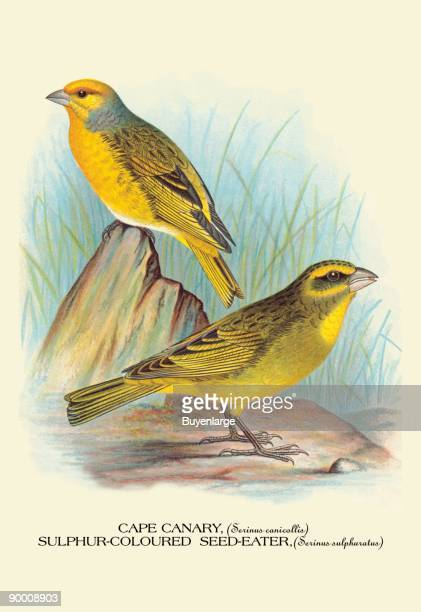 Cape Canary SulphurColoured SeedEater