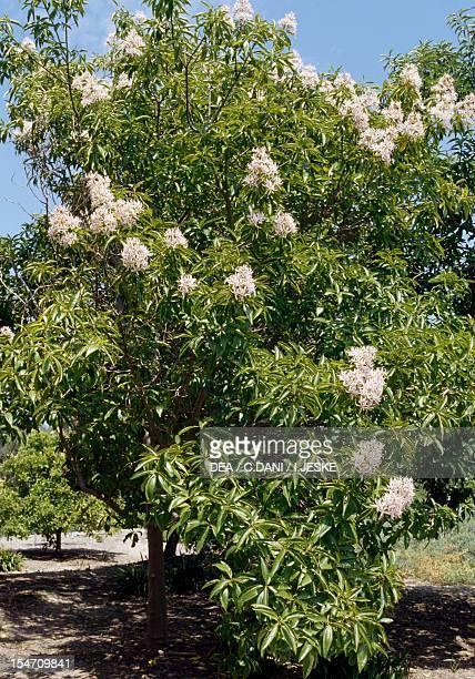 Cape Chestnut , Rutaceae.