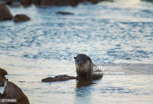 Cape Clawless Sea Otter