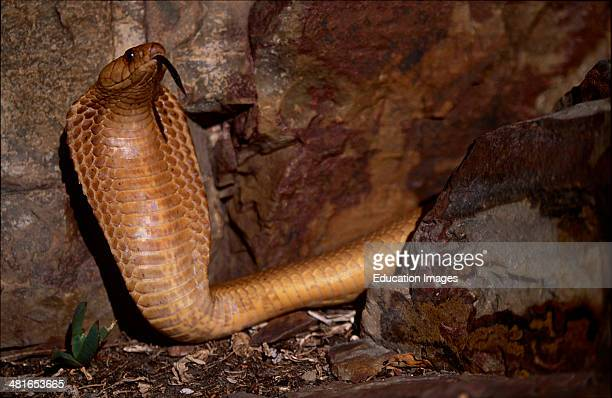 Cape Cobra, Naja nivea, with a head that is hardly set off from the body, reaches a length of up to 1.60 meters and has big eyes with a round pupil....