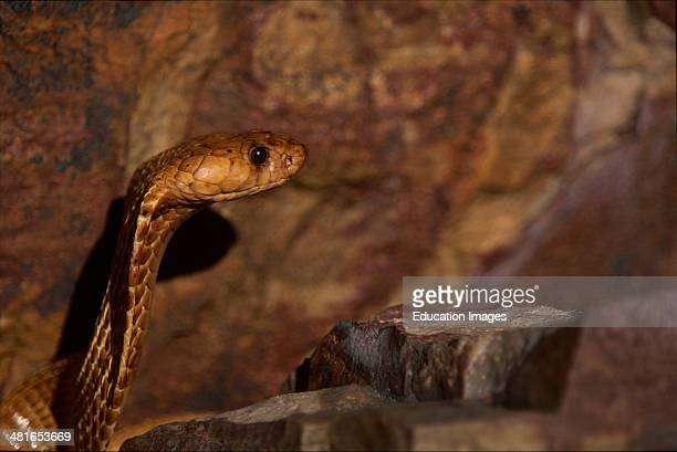Cape Cobra Naja nivea with a head that is hardly set off from the body reaches a length of up to 160 meters and has big eyes with a round pupil The...