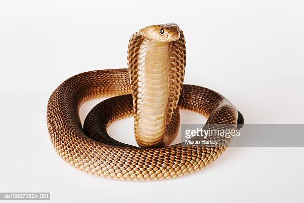 Cape Cobra (Naja nivea) on white background