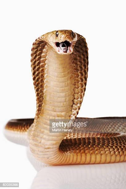Cape Cobra.