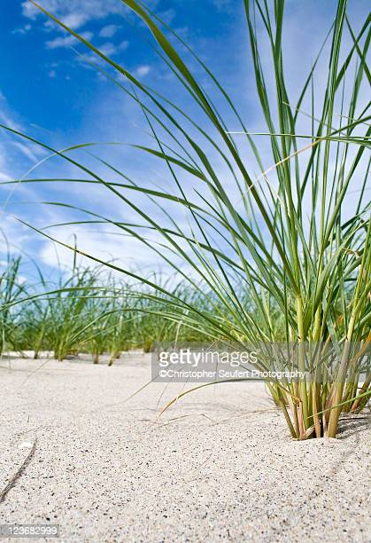 cape cod beach grass - chatham new york state stock pictures, royalty-free photos & images