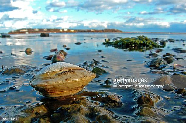 Cape Cod Clam on the Flats