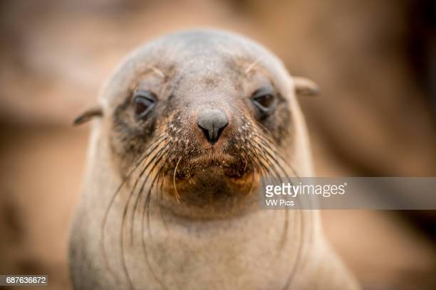 Cape Cross Namibia Africa Cape Fur Seals on the Seal reserve of the Skeleton Coast